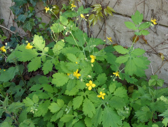 med-chelidoine-ou-herbe-a-verrues-visoflora-53122